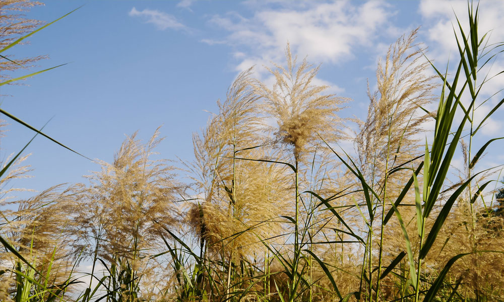 Image for Stover and the Miscanthus Solution Part 2